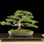 Come Fare un Bonsai da un Ramo di Ulivo: come si Crea