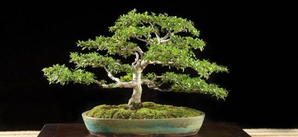 come fare un bonsai