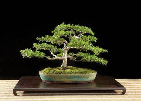 Come fare un bonsai da un ramo di ulivo come si crea - Cura dei bonsai in casa ...