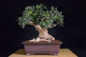 Come fare un bonsai da un ramo di ulivo come si crea for Bonsai di ulivo